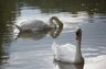 The Beauty of Atlanta - Pair of Swans in the Chattahoochee River, near Mr. Head's home.